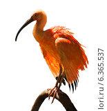 Купить «Ibis», фото № 6365537, снято 14 мая 2014 г. (c) Яков Филимонов / Фотобанк Лори