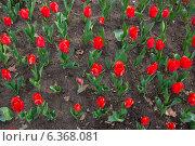 Красные тюльпаны. Стоковое фото, фотограф VahanN / Фотобанк Лори
