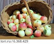 Купить «Яблоки, освещённые солнцем, рассыпались из корзины», фото № 6368429, снято 31 августа 2014 г. (c) Олейникова Галина / Фотобанк Лори