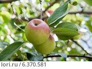 Купить «Спелые яблоки на ветках, осень (крупный план)», фото № 6370581, снято 6 сентября 2014 г. (c) Екатерина Овсянникова / Фотобанк Лори
