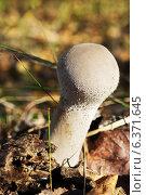 Купить «Гриб Дождевик (Lycoperdon perlatum) в осеннем лесу», фото № 6371645, снято 6 октября 2013 г. (c) ElenArt / Фотобанк Лори
