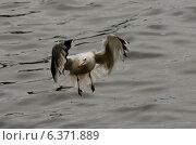 Купить «Seagull landing over a lake, Lake of the Woods, Ontario, Canada», фото № 6371889, снято 21 октября 2018 г. (c) Ingram Publishing / Фотобанк Лори