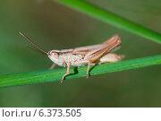 Купить «Grasshopper on a reed», фото № 6373505, снято 31 марта 2020 г. (c) Ingram Publishing / Фотобанк Лори