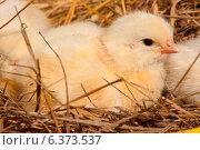 Купить «Chick in a nest», фото № 6373537, снято 21 ноября 2019 г. (c) Ingram Publishing / Фотобанк Лори