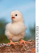 Купить «Close-up of a cute chick», фото № 6373553, снято 21 ноября 2019 г. (c) Ingram Publishing / Фотобанк Лори