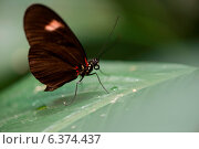 Купить «Close-up of a butterfly perched on a leaf at Butterfly Palace, Branson, Taney County, Missouri, USA», фото № 6374437, снято 25 августа 2019 г. (c) Ingram Publishing / Фотобанк Лори