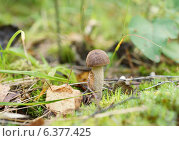 Купить «Маленький гриб подберёзовик растёт среди мха и листьев», эксклюзивное фото № 6377425, снято 1 сентября 2014 г. (c) Dmitry29 / Фотобанк Лори