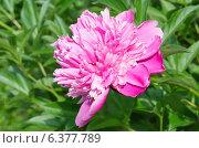 Купить «Розовый пион (лат. Paeonia)», эксклюзивное фото № 6377789, снято 13 июня 2014 г. (c) Елена Коромыслова / Фотобанк Лори