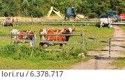 Фермерское хозяйство. Молочная ферма. Коровы с огромным выменем. Стоковое фото, фотограф Валерия Попова / Фотобанк Лори