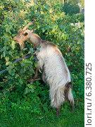 Купить «Коза объедает листья  с куста», эксклюзивное фото № 6380725, снято 6 сентября 2014 г. (c) Александр Щепин / Фотобанк Лори