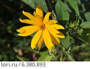 Купить «Топинамбур или подсолнечник клубненосный (лат. Helianthus tuberosus)», эксклюзивное фото № 6380893, снято 8 сентября 2014 г. (c) lana1501 / Фотобанк Лори