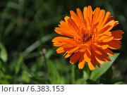 Ноготки или календула лекарственная (лат. Calendula officinalis) Стоковое фото, фотограф lana1501 / Фотобанк Лори