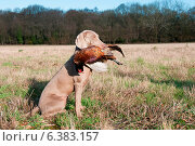 Купить «Hunting dog with a pheasant in its mouth», фото № 6383157, снято 21 марта 2019 г. (c) Ingram Publishing / Фотобанк Лори