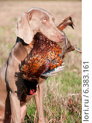 Купить «Hunting dog with a pheasant in its mouth», фото № 6383161, снято 21 марта 2019 г. (c) Ingram Publishing / Фотобанк Лори