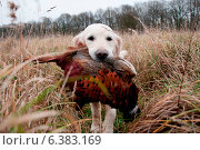 Купить «Hunting dog with a pheasant in its mouth», фото № 6383169, снято 21 марта 2019 г. (c) Ingram Publishing / Фотобанк Лори
