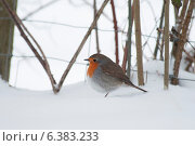 Купить «A blue tit in the snow», фото № 6383233, снято 24 января 2019 г. (c) Ingram Publishing / Фотобанк Лори