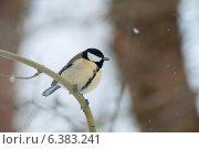 Купить «A blue tit in the snow», фото № 6383241, снято 24 января 2019 г. (c) Ingram Publishing / Фотобанк Лори