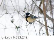 Купить «A blue tit in the snow», фото № 6383249, снято 21 января 2019 г. (c) Ingram Publishing / Фотобанк Лори
