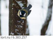 Купить «A blue tit in the snow», фото № 6383257, снято 21 января 2019 г. (c) Ingram Publishing / Фотобанк Лори