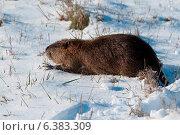 Купить «A coypu in the snow», фото № 6383309, снято 4 апреля 2020 г. (c) Ingram Publishing / Фотобанк Лори