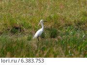 Купить «A egret in a field», фото № 6383753, снято 26 июня 2019 г. (c) Ingram Publishing / Фотобанк Лори