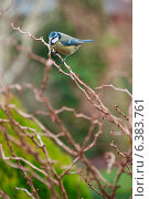 Купить «A blue tit on a branch», фото № 6383761, снято 24 января 2019 г. (c) Ingram Publishing / Фотобанк Лори