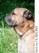 Купить «A close-up of a mastiff in a field», фото № 6383993, снято 10 декабря 2019 г. (c) Ingram Publishing / Фотобанк Лори