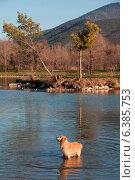 Купить «A golden retriever in the water», фото № 6385753, снято 26 июня 2019 г. (c) Ingram Publishing / Фотобанк Лори