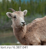 Купить «Female Bighorn sheep (Ovis canadensis), Jasper National Park, Alberta, Canada», фото № 6387041, снято 22 августа 2018 г. (c) Ingram Publishing / Фотобанк Лори