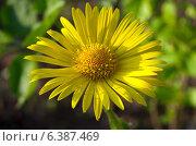 Дороникум (лат. Doronicum) крупным планом. Стоковое фото, фотограф Елена Коромыслова / Фотобанк Лори