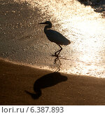 Купить «Egret on the beach, Sayulita, Nayarit, Mexico», фото № 6387893, снято 26 марта 2019 г. (c) Ingram Publishing / Фотобанк Лори