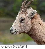 Купить «Female Bighorn sheep (Ovis canadensis), Jasper National Park, Alberta, Canada», фото № 6387941, снято 22 августа 2018 г. (c) Ingram Publishing / Фотобанк Лори