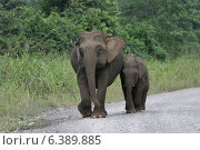 Купить «Borneo pygmy elephant and calf», фото № 6389885, снято 27 марта 2019 г. (c) Ingram Publishing / Фотобанк Лори