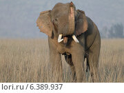 Купить «Asian elephant bull in musth sniffing», фото № 6389937, снято 19 октября 2018 г. (c) Ingram Publishing / Фотобанк Лори