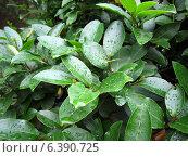 Капли на листьях. Стоковое фото, фотограф Виктория Деркач / Фотобанк Лори