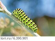 Купить «Гусеница Махаона (лат. Papilio machaon)», эксклюзивное фото № 6390901, снято 16 августа 2014 г. (c) Елена Коромыслова / Фотобанк Лори