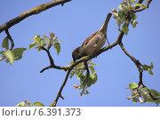 Купить «Воробей, сидящий на ветке цветущей яблони», фото № 6391373, снято 25 апреля 2014 г. (c) Татьяна Грин / Фотобанк Лори