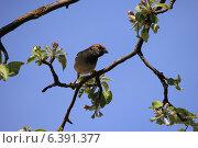 Купить «Воробей, сидящий на ветке цветущей яблони», фото № 6391377, снято 25 апреля 2014 г. (c) Татьяна Грин / Фотобанк Лори