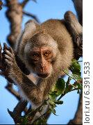 Макак-резус с обезьяньей горы Hin Lek Fai на рассвете. Стоковое фото, фотограф Борис Егоров / Фотобанк Лори
