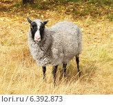 Купить «Овца на осенней лужайке», фото № 6392873, снято 18 августа 2014 г. (c) Валерия Попова / Фотобанк Лори