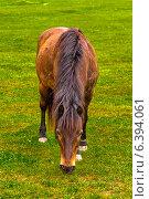 Лошадь ест траву на лугу. Стоковое фото, фотограф Владимир Николаевич Гневушев / Фотобанк Лори