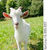 Купить «Белая молодая козочка на зеленой траве в солнечный день», фото № 6395937, снято 26 июля 2014 г. (c) Екатерина Овсянникова / Фотобанк Лори