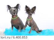 Две собаки, Китайская хохлатая порода. Стоковое фото, фотограф vansant natalia / Фотобанк Лори