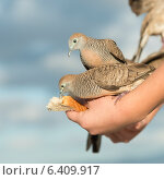 Купить «Pigeons feeding from a person's hand, Waikiki, Diamond Head, Kapahulu, St. Louis, Honolulu, Oahu, Hawaii, USA», фото № 6409917, снято 4 февраля 2013 г. (c) Ingram Publishing / Фотобанк Лори