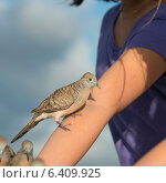 Купить «Pigeons perching on a woman's hand, Waikiki, Diamond Head, Kapahulu, St. Louis, Honolulu, Oahu, Hawaii, USA», фото № 6409925, снято 4 февраля 2013 г. (c) Ingram Publishing / Фотобанк Лори