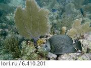 Купить «French Angelfish (Pomacanthus paru) swimming underwater, Utila Island, Bay Islands, Honduras», фото № 6410201, снято 26 декабря 2012 г. (c) Ingram Publishing / Фотобанк Лори