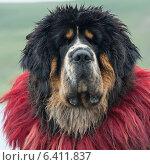 Купить «Close-up of a decorated Tibetan mastiff dog, Nagarze, Shannan, Tibet, China», фото № 6411837, снято 20 августа 2012 г. (c) Ingram Publishing / Фотобанк Лори