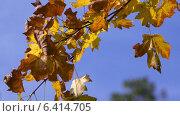 Желтые листья клена крупным планом на фоне голубого неба. Стоковое видео, видеограф Евгений Егоров / Фотобанк Лори