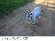 Купить «Коза в ошейнике», фото № 6415729, снято 21 августа 2014 г. (c) Ольга Лерх Olga Lerkh / Фотобанк Лори