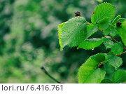 Мокрые зеленые листья после дождя. Стоковое фото, фотограф Анфимов Леонид / Фотобанк Лори